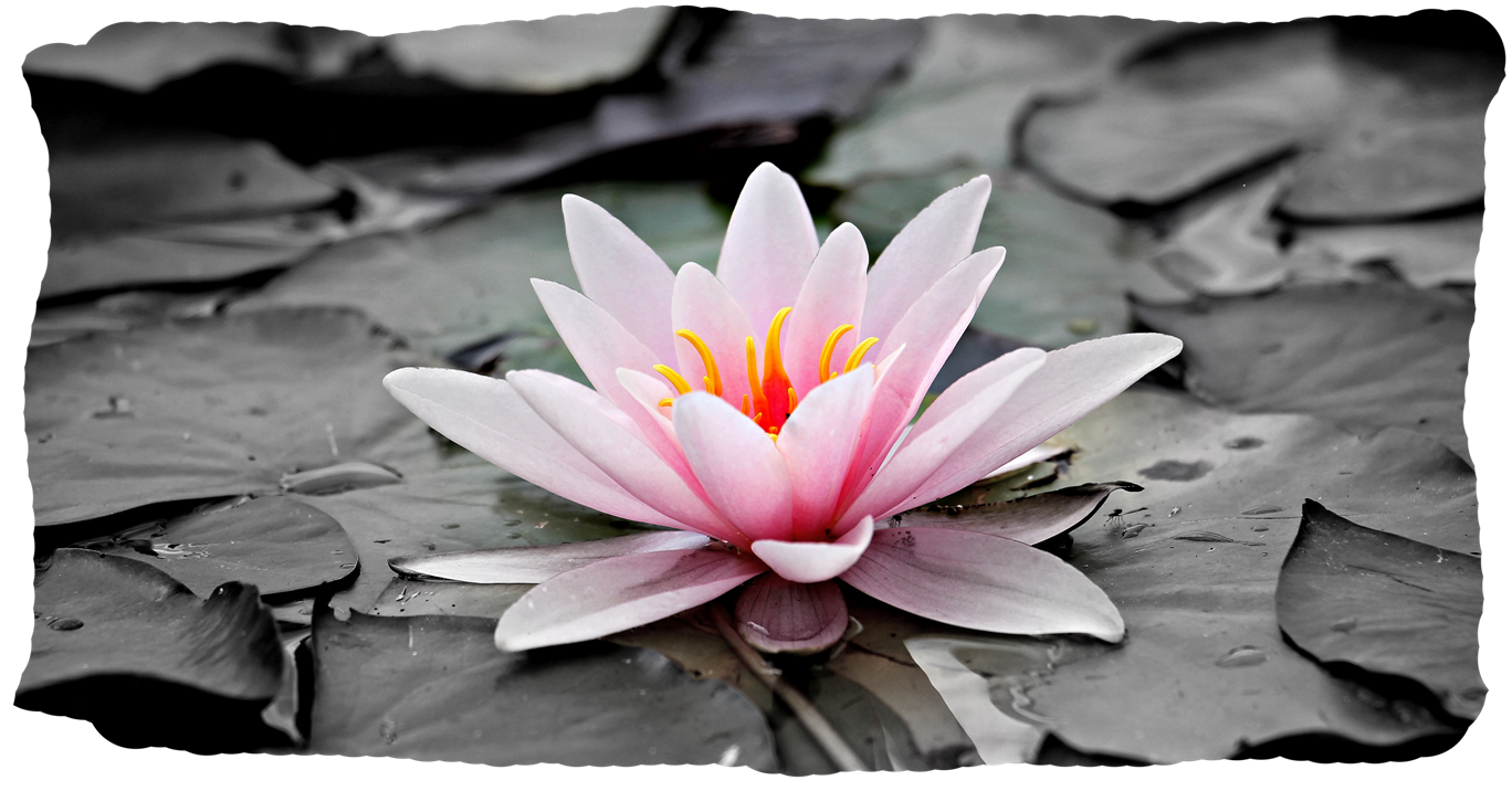 pink lotus blossom emerging mywholewall